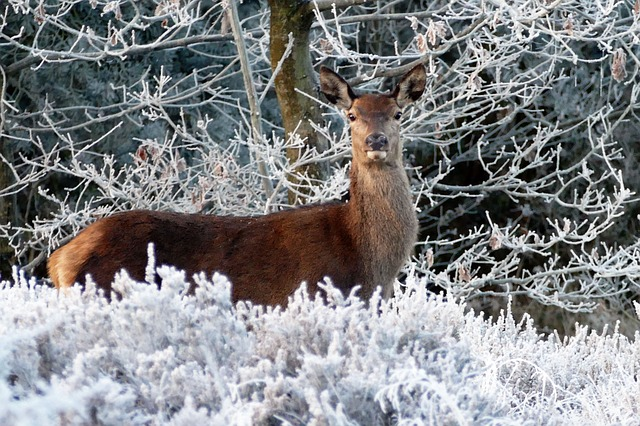 Red deer in the snow.jpg